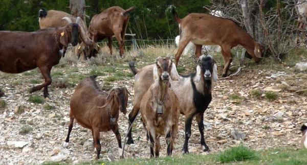 нубийская порода коз описание