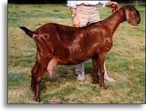 нубийская порода коз общая характеристика