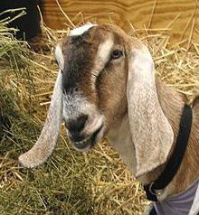 нубийская порода козы