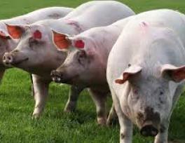 Мясокостная мука: инструкция по применению