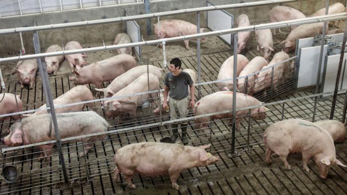 Секс в свинарнике со свиньей