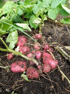 метод митлайдера посадка картофеля