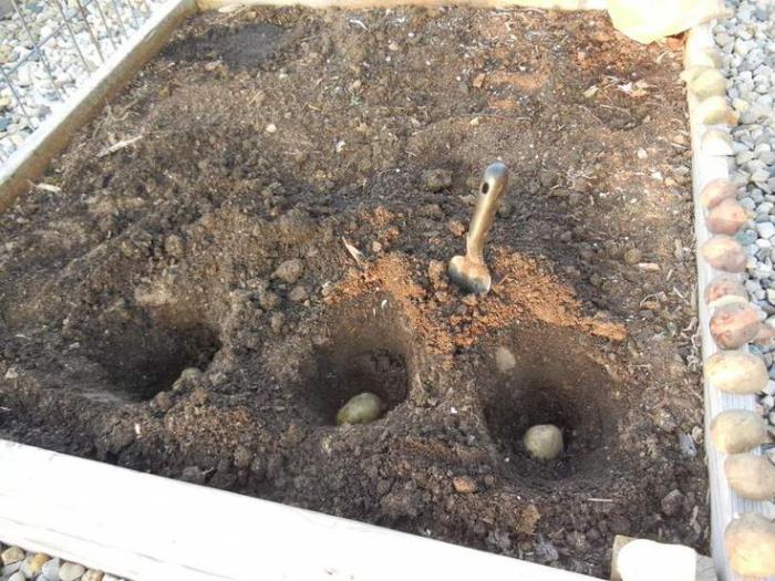 схема посадки картофеля по