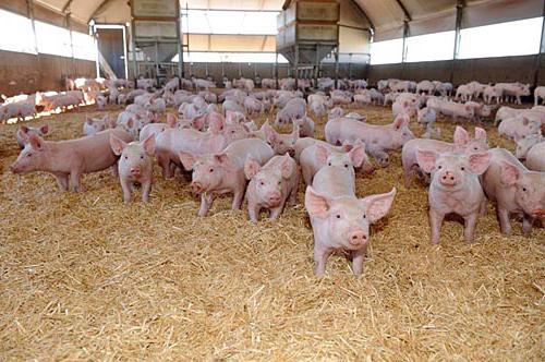 Рацион откорма свиней в домашних условиях