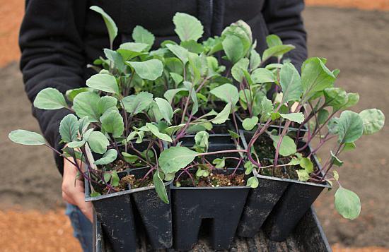 рассада цветной капусты выращивание в домашних условиях