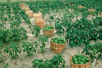 как правильно посадить рассаду перца