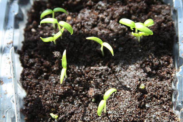 когда высевать перец на рассаду