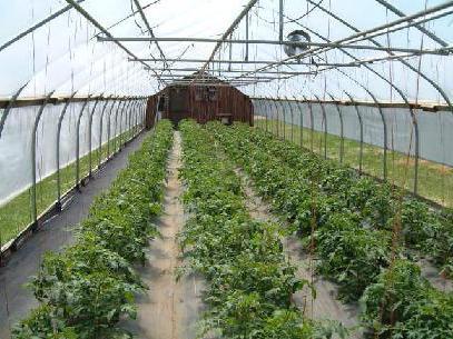 Сорт низкорослых томатов для теплиц