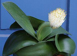 заячьи уши цветок фото