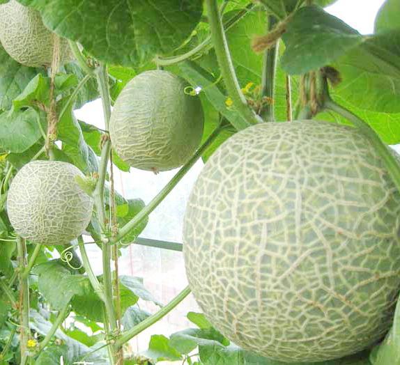 выращивание дыни в теплице из поликарбоната