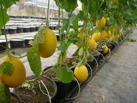 Выращивание дыни в теплице из поликарбоната. посадка и уход.