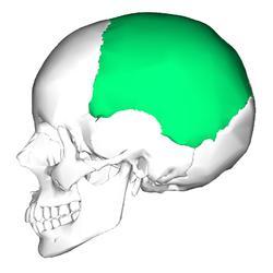 теменная кость