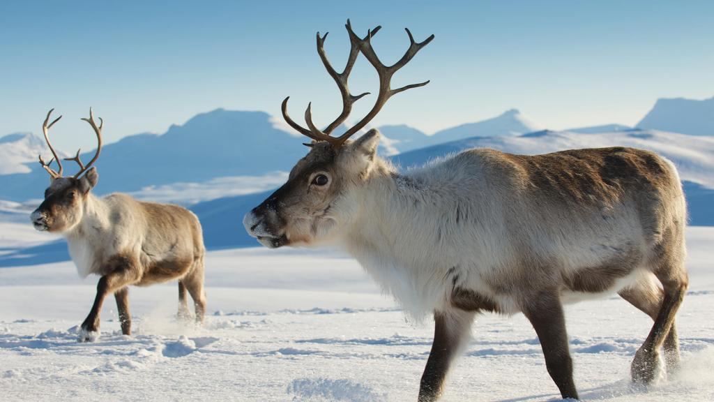 Канадский олень – уникальный обитатель тундры