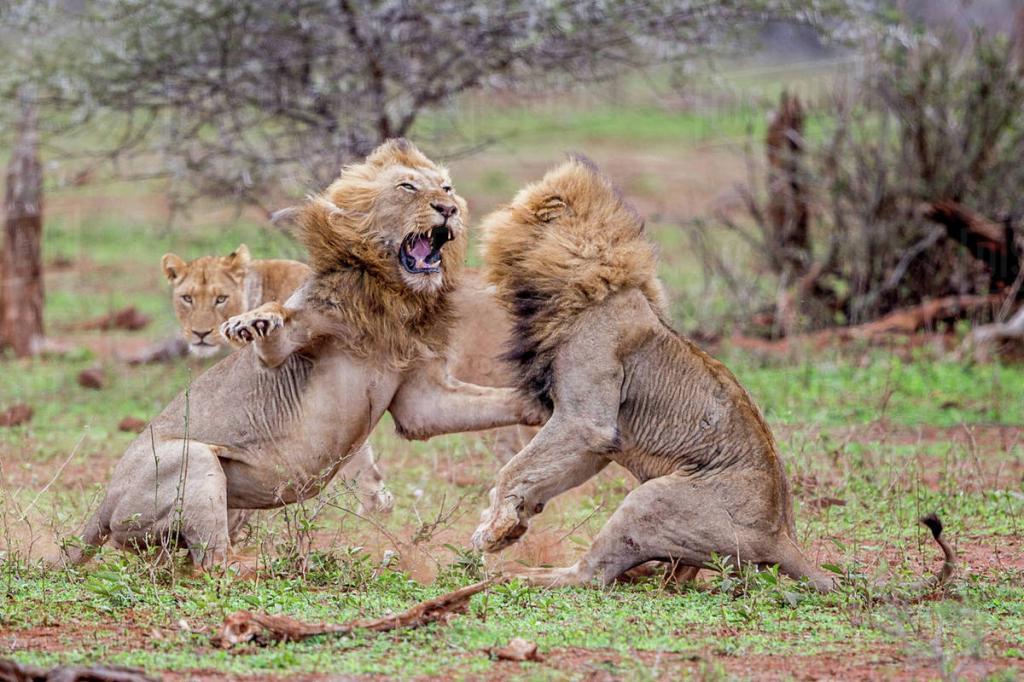 объект картинки лев против человека показываю