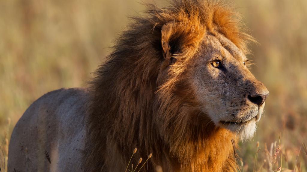 африканские львы фото они будут передаваться