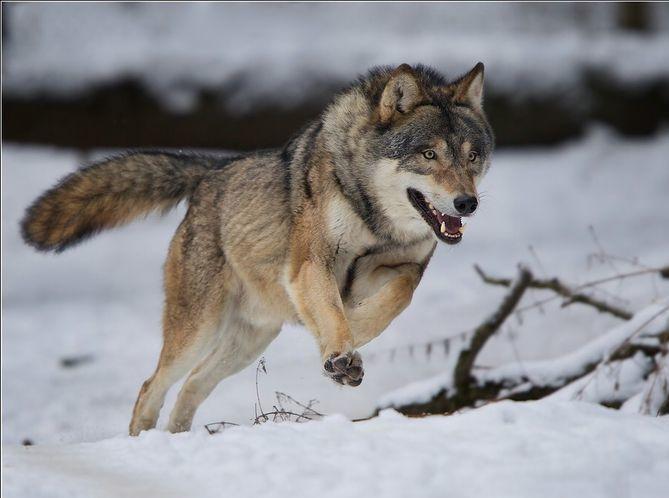 Картинка бегущий волк