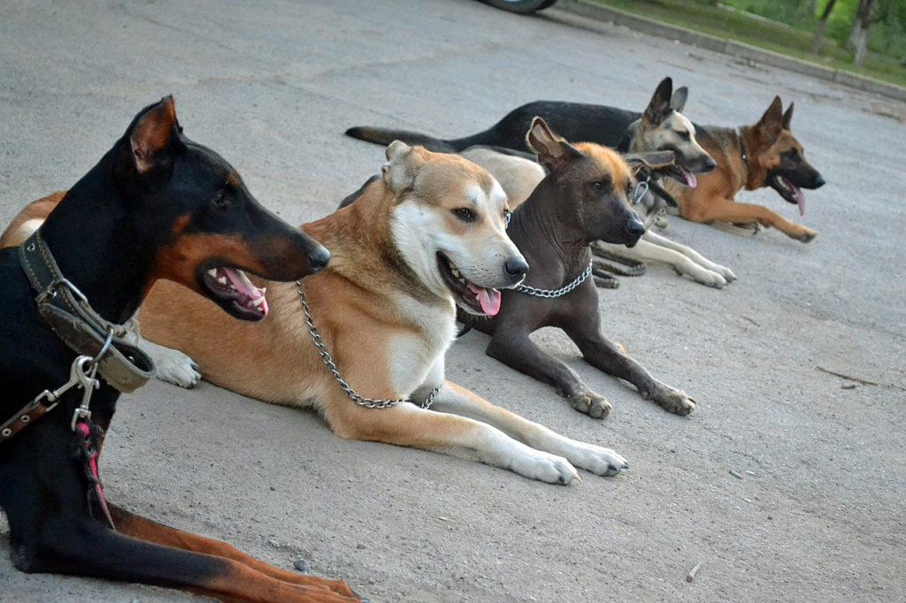Поводок-удавка для коррекции поведения собаки