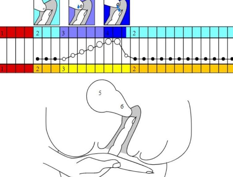 Шейка матки при овуляции и после