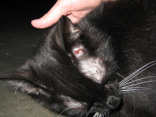 Лишай у кошки симптомы и лечение fb ru