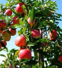 осенняя подкормка яблонь