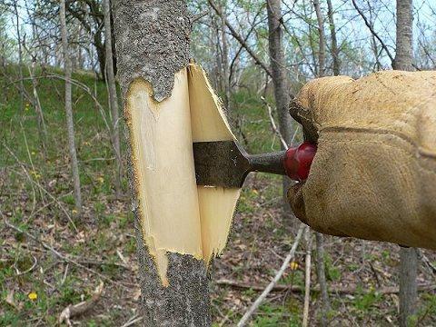 Лечебные свойства коры осины применение лечение корой осины