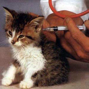 Бешенство у кошек - симптомы, диагностика и