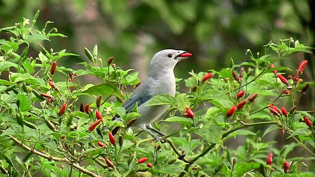 Birds Spread Chili Seeds