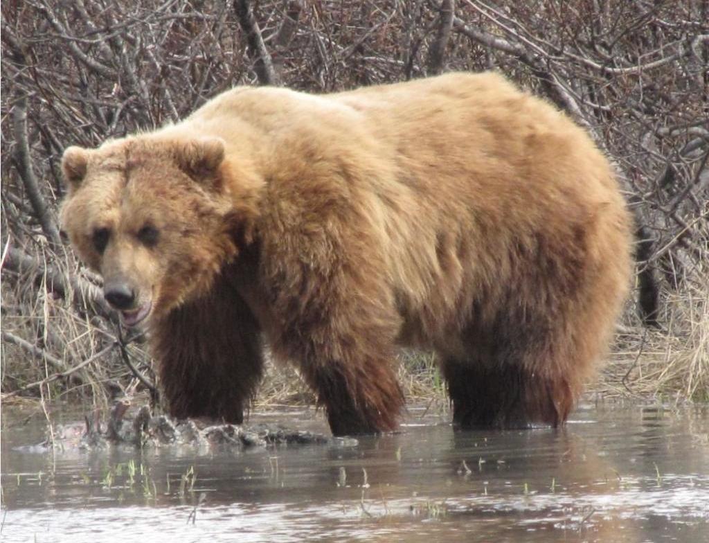 Купание медведя