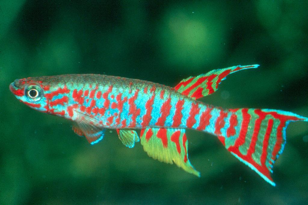 Линеатус аквариумная щучка содержание в домашних условиях
