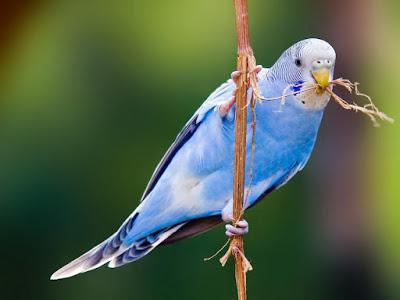 Как выбирать волнистого попугая. Простые советы
