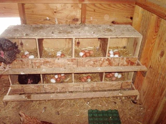Размер гнезда для курицы несушки