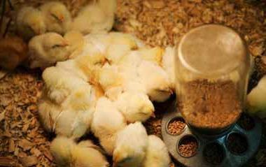Кормушка для цыплят