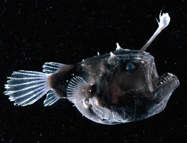 как выглядит рыба толстолобик речной фото