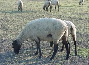 лекарство от глистов для свиней альбен