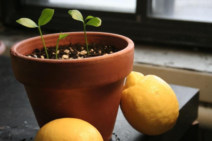 Посадить в домашних условиях лимон