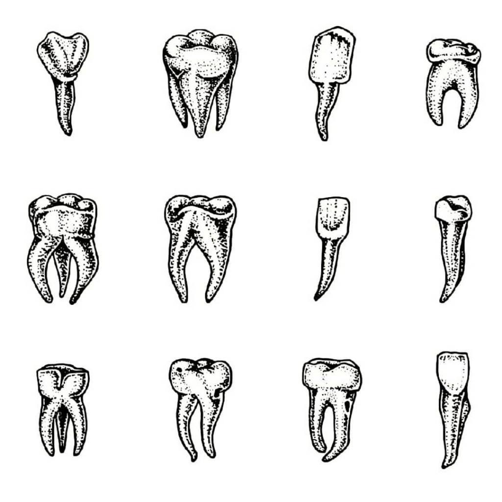 Зубы в картинках поэтапно