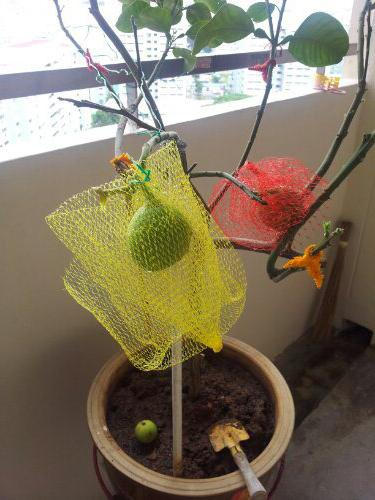 Как растет помело
