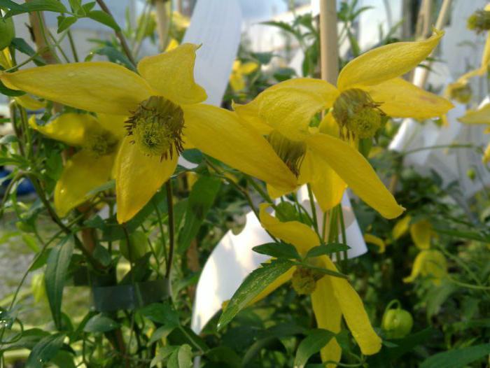 клематис гелиос выращивание из семян фото