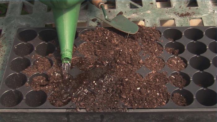 Выращивание клематисов из семян в домашних условиях