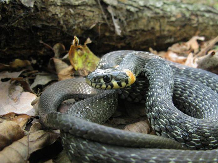 змеи россии названия и фото