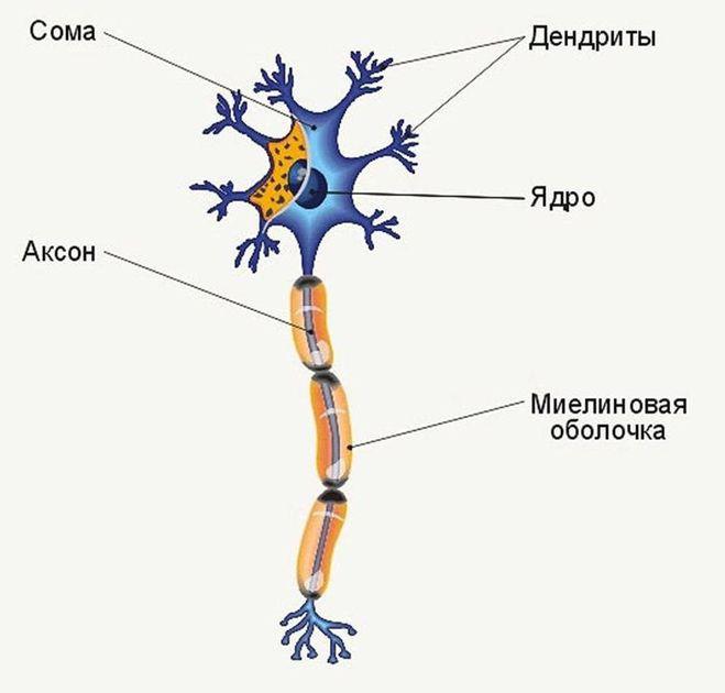 Метасимпатическая нервная система. Физиология
