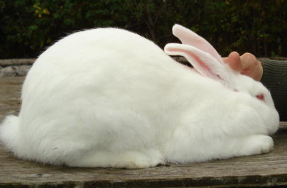 кролики порода белый великан разведение и содержание в домашних условиях
