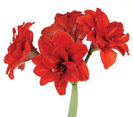 цветок амариллис уход