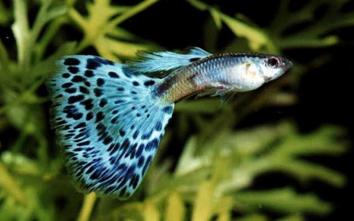 Рыбки гуппи содержание и уход