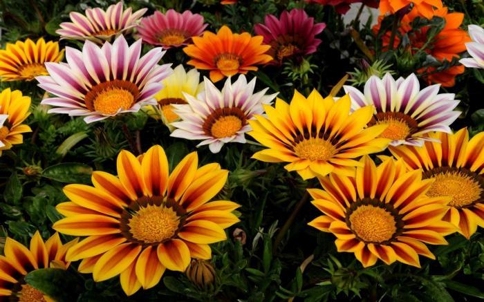Гарциния уход и выращивание 7