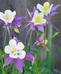 Водосборники цветы фото