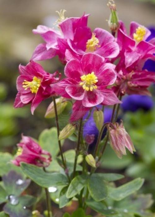 Цветок водосборник