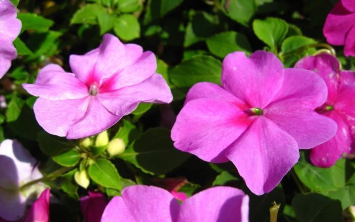 Цветы Ванька мокрый – в вашем саду! - FB ...: fb.ru/article/90661/tsvetyi-vanka-mokryiy-v-vashem-sadu