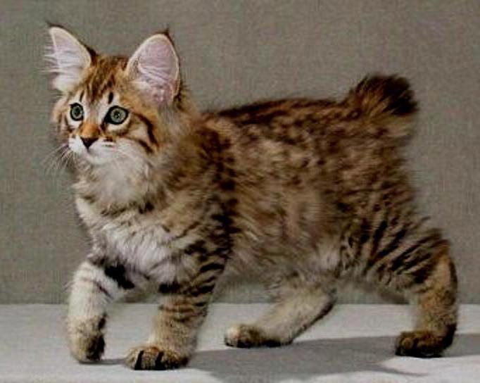 американский короткошерстный кот фото рыжий