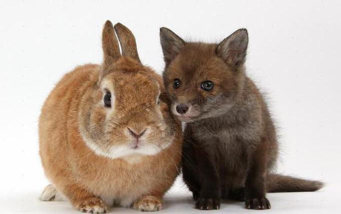 карликовые кролики размеры